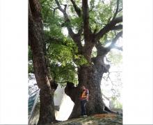 沙溪八百年故障树