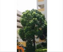 香樟树复壮方案
