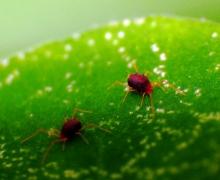 红蜘蛛防治