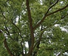 冬季树木虫害
