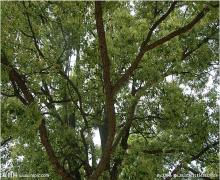 雪松常见树木病虫害防治有哪些